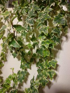 観葉植物(アイビー)の写真