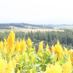 北海道,花,ケイトウ,丘,自然